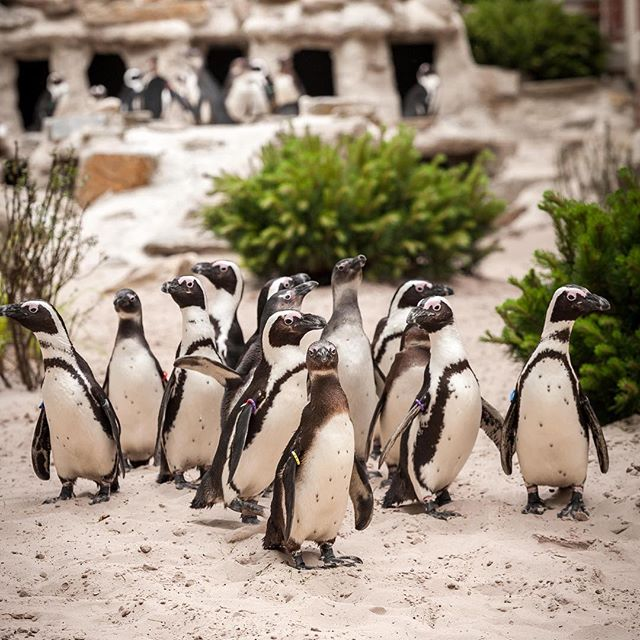 Pinguins in ZOO Antwerpen